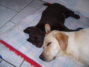 Labrador und Welpe in Ausbildung zum Assistenzhund