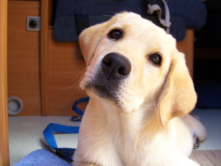 Auswahl Labrador Welpe zum Assistenzhund