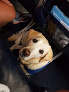 Das Photo zeigt einen hellen Labrador im Flugzeug zwischen den Sitzen. Der Labrador ist Assistenzhund und trägt ein Cape.