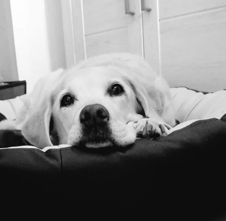 Auf dem schwarz-weiß Photo sieht man einen hellen Labrador (Cayenne), die im Hundebett liegt und in die Kamera schaut. Heute ist Cayenne im Himmel.